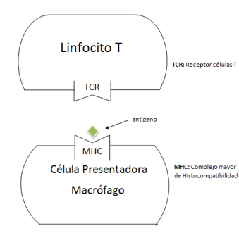 TCR-MHC